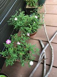 ミニバラの品種について。 ピンクの方はレンゲローズのようですが(違いますか?)、白の方は、少し花の形が違います。 レンゲローズではなく、何と言う品種しょう。 姫乙女?だったら嬉しいですけど、どうかしら。