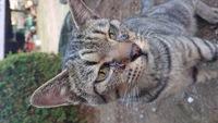 野良猫さんの目やに この写真の目やには酷いときの写真ですが、見かけるときはだいたい目やにがでてます。 赤茶色のような色です。 このような目やには何が原因かわかりますか??