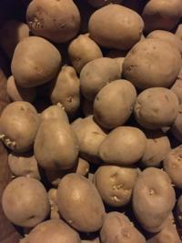 ジャガイモの種芋に今頃、芽が出できてうろたえてます。 来年の春ジャガの種芋に使えますか? 出た芽はすぐにとった方が良いですか?それともそのままが良いですか?