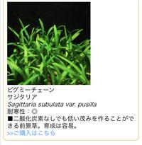 「ピグミーチェーン サジタリア」という水草を買おうと思っています。  その場合、底砂はソイルでないと育たないのでしょうか? 大磯砂のような砂利では厳しいでしょうか?