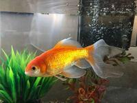 金魚に詳しいかたお願いします。 写真の金魚の品種分かる方いますか? 3年ほど前に屋台の金魚すくいでとったのですが、 最近金魚に色々種類がある事を知り、調べたのですが、わからないので詳しい方いましたら、...