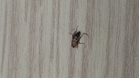 小さい虫で家の中で飛び回っています。コバエではないと思いますが、お分かりになる方いらっしゃいますか?駆除方法をネットで調べようにも種類がわかりません。