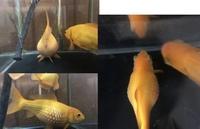 金魚の松かさ病についての質問です。  私の家には今年で4、5年になる和金、約15cmがいます。 和金は2匹いて、細いが1匹でもう1匹が横取りしたのか気がついたらガチョウのフォアグラ(両親が 言ってました)み...