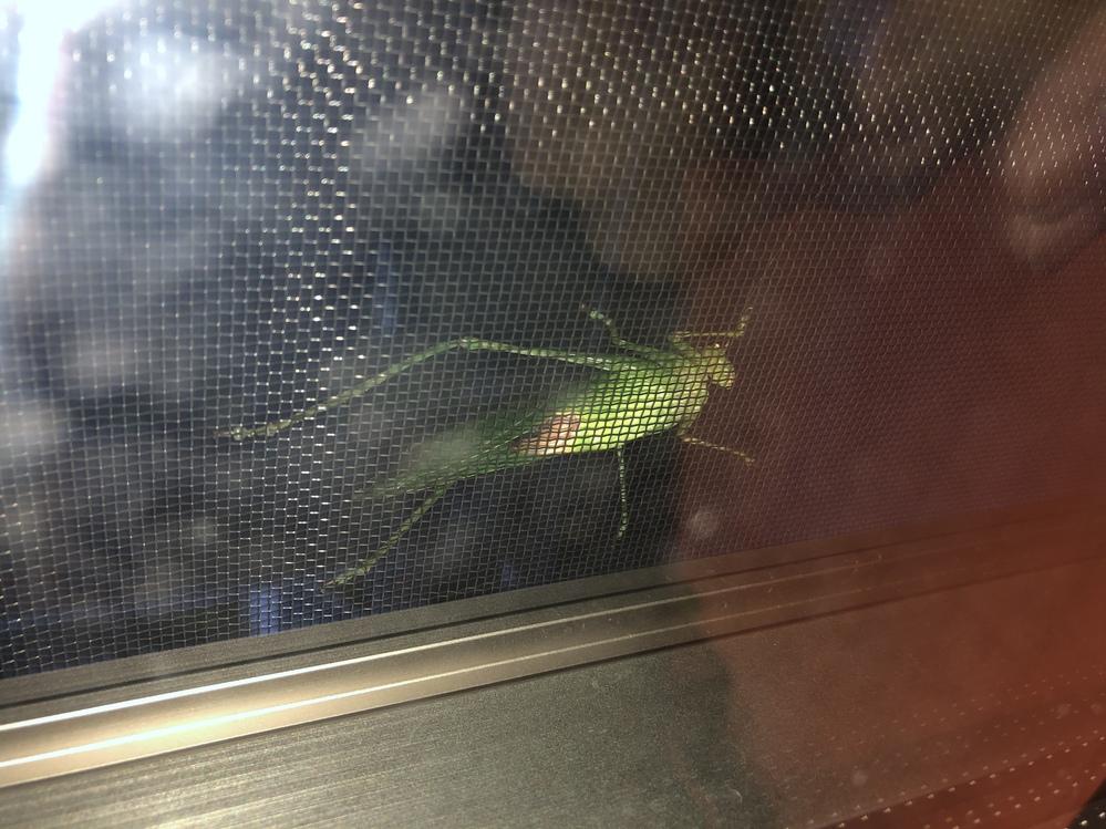 網戸にくっついてる虫が何なのか気になります。 網戸越しに写真を撮ったので、更にお腹側で見辛いですが、もし何の虫か分かれば教えてください。