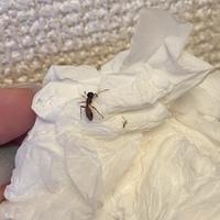 【虫画像注意!】 家のキッチン周りに一匹の蟻が出ました。 小さい蟻なら見かけたことがあるのですが、 この少し大きめな蟻は初めてです。 何という種類の蟻でしょうか? そして害はないで しょうか? 虫詳...