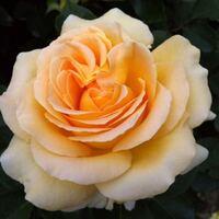 このバラの品種名がわかりましたら、教えてください。