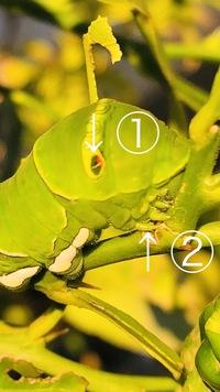 アゲハチョウかナミアゲハらしきこの昆虫。  ①は目ですか? ②は歯ですか? 手かしら??  ちなみにもし手で触ったらかぶれてしまいますか?  よろしくお願い致します☆