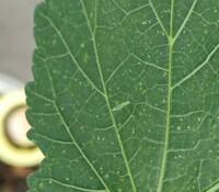 家庭菜園のおくら害虫 葉っぱのうらに体長一センチ前後、胴体が緑で足が細く長い虫が何匹もいます  バッタとくもの幼虫を合わせたような虫がですかこれは害虫ですかね 駆除方法含めて教えて 下さい