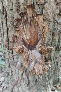 雑木林のクヌギの木がこうなってました これってバカがクワガタを採る為に虚を破壊したって事ですよね? 離れたところにも同じ様な木がありました