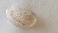 メダカのグリーンウォーターについての質問です。屋外のプラスチック容器(20リットル)にハイポネックスでグリーンウォーターを作りメダカの稚魚を育てているのですが、水面で容器の縁に写真の様な生物?植物?何かの 卵?2~3個あるのですがこれは一体なんなのでしょうか? メダカの稚魚には影響は無いのでしょうか?詳しい方教えて頂ければ嬉しいです。よろしくお願いいたします。大きさは1㎝ぐらいでゼリー状みた...
