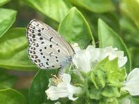 蝶の種類  写真のシジミチョウについて 種類が分かる方、ご教示ください。  本日福岡県で撮影しました。
