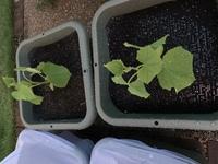 胡瓜の2つの苗が黄緑色です(´;ω;`)  胡瓜苗ポット2つ購入時期8/14頃←この時は確かに緑色の苗をしていた 植え付け8/28頃←時すでに遅し黄緑色でした  土は新しい野菜培養土元肥入りです 。  植え付けしてから5日目?ですが、 1ミリも成長しておりません。 そして色は黄緑色のまま…  これは生き返らせる事は可能ですか? もういっその事捨てて、今からでも別の何か...