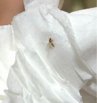 虫に詳しい方教えてください!今ふとリビングの床を見たらこの虫が何匹もあちこちにいて羽があるけど飛ばずにあちこちにいます。この虫はなんですか?なんで床にたくさんいるんですか?気持ち悪いです。この虫が...