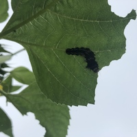 この毛虫、成虫は何になりますか?  たぶん蛾だろうなぁとは思いますが、その種類が気になり質問しました。