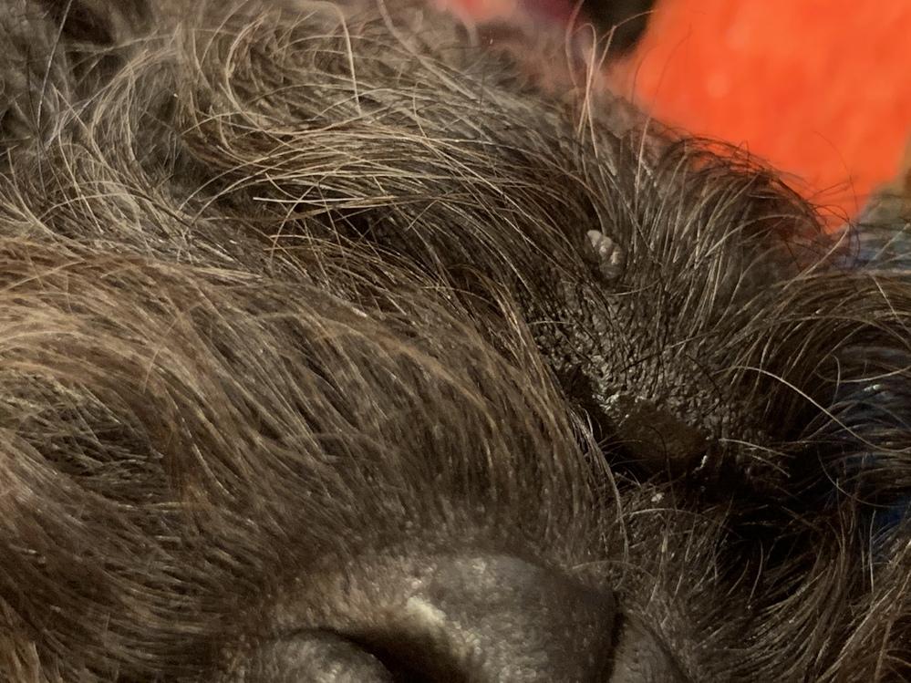 ペットの犬(トイプードル)の口もとに20日ほど前からイボのようなものがあります。 現在まで肥大はしていないようですし、マダニではないと思うのですが、見た目が似ているので心配です。ただ のイボな...