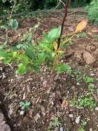 家庭菜園でブルーベリーを育てていますが、画像のように枝の途中で黒く枯れています。これは何かの病気にかかっていいるのでしょうか? 又、このような部分は枝の根元から切り落としてよいのでしょうか?