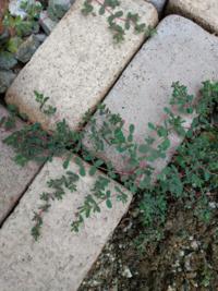 雑草の名前がわかりません。 最近、庭に初めて見る雑草が生えてきました。 茎が赤くてほふくして生えてます。 下手に抜いたら増えますか? 駆除方法なども、教えて頂けたら嬉しいです。 よろしくおねがい致します。