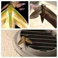 蛾の種類  写真のスズメガについて 種類が分かる方、ご教示ください。  【左上】福岡県で7月に撮影。キイロスズメかと思います。 【右上】福岡県で8月に撮影。コスズメかと思います。 【下】福岡県で9月に撮影。コス ズメかセスジスズメかと思います。  上二つは恐らく合っていると思うのですが 下の写真が画像が荒いこともあり、よくわかりません。