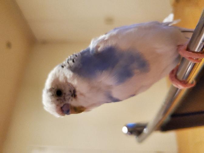 家で飼っているセキセイインコの顔周りの羽が少ない気がします。 これって病気でしょうか?