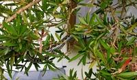 昨日玄関にいたんですがこのヘビは幻のシロマダラですか?