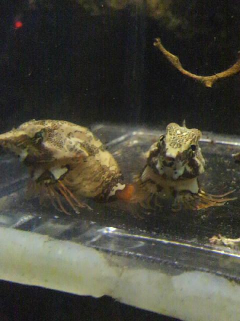 この生物の名前を教えて下さい。 10年ほど前に行った新江ノ島水族館で飼育されていました。ちょっと異様な形をしていたので、思わず写真を撮ったのですが…水槽付近にはこの生物の生態情報がありませんでし...
