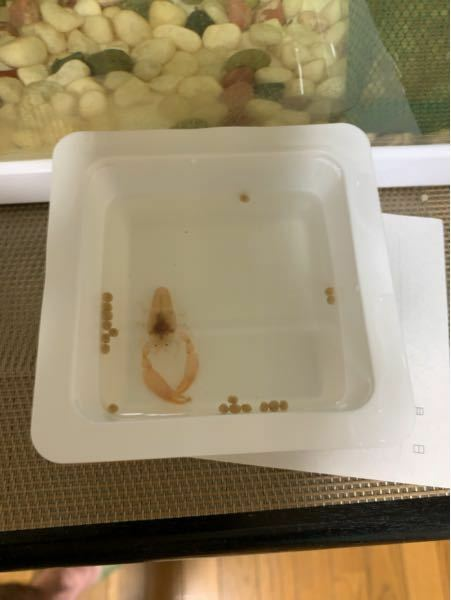 このエビの子供の種類は何ですか? 分かる方教えてくださいm(__)m また飼育可能なら飼育してみたいのですが 餌はなにをあげたら良いのでしょうか?