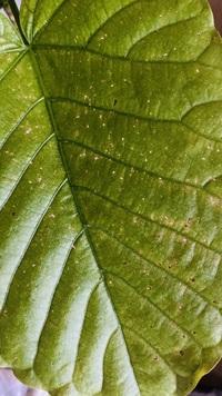 観葉植物のウンベラータが最近黄色くなって、落葉します。 室内で、大きめの窓辺で直射日光がよくあたるところに置いてました。 水は週一ぐらいに1リットル弱あげてます。  陽が当たりすぎ かな?と、一週間...