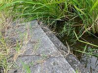 水田雑草について、 畔から水田に侵入し水中でも匍匐茎を出し増殖していました。 見た目は芝生の大きい奴って感じなのでイネ科の植物だと思ってるのですが詳しい種名を知りたく思ってます。  水槽で水草として使...