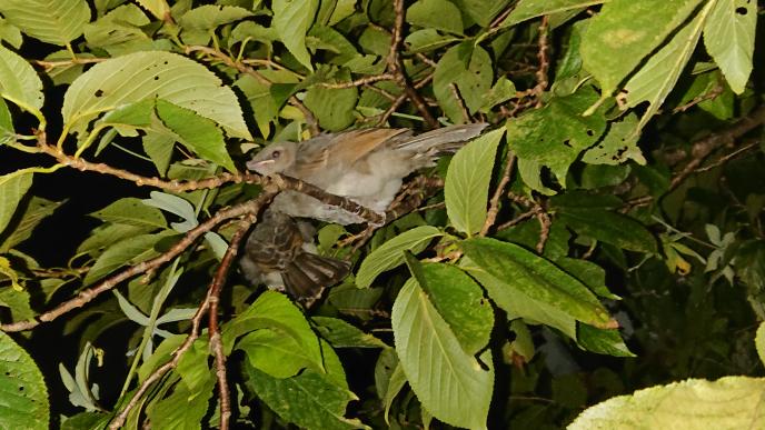 庭で寝ているこの鳥は、なんて言う名前ですか?