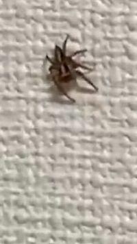 蜘蛛が出ました 1人暮らしをして5ヶ月経ちますが 蜘蛛をみたのは3回めです しかし1回目も2回目もみたことのある細い蜘蛛で今回の蜘蛛は初めて目にしました。 なんという名前の蜘蛛なのか、繁殖するかどうかを聞きたいです。 虫が苦手で怖いので蜘蛛について詳しく知れたら嬉しいです。回答お待ちしております。