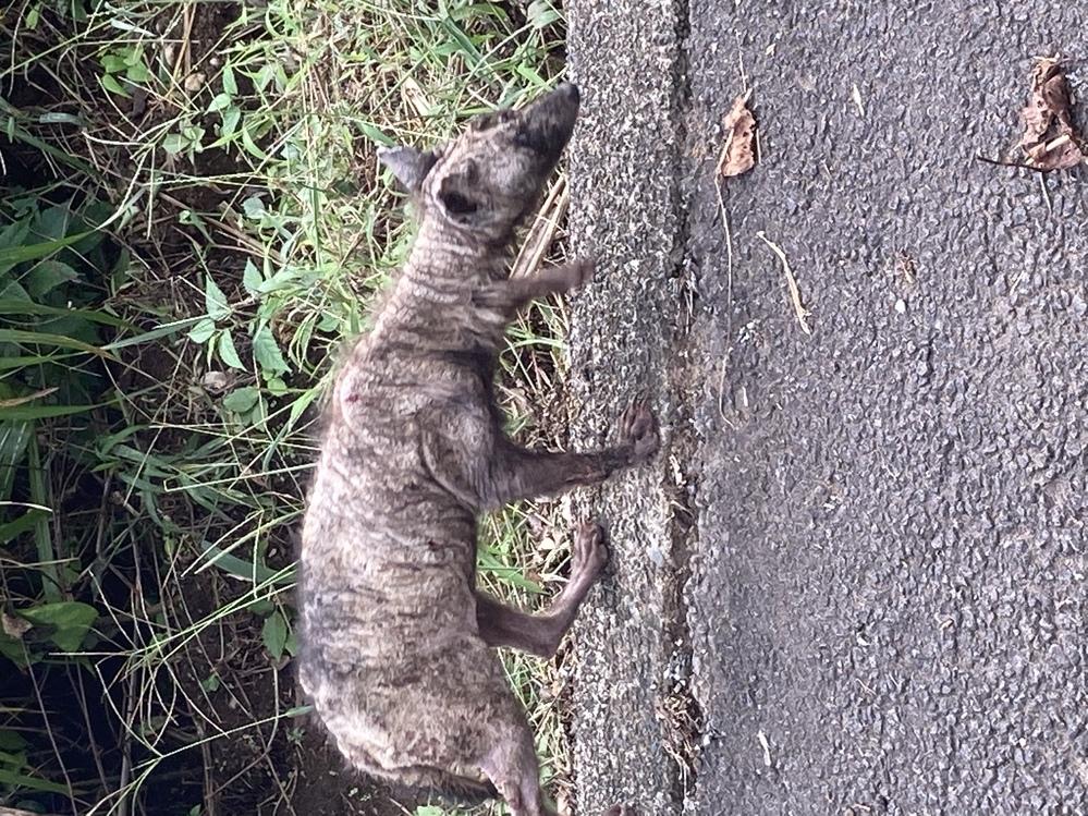 静岡県の伊東の山の中に住んでいます。 最近見かけるようになったこの動物は何というのでしょうか? ご存知の方いらっしゃいますか?
