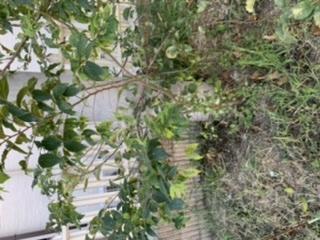 この木の種類がわかりません。 以前リンゴを2本植えていたのですが、台風で倒れてしまい今は一本生き残っています。 その隣、台風で倒れた木の辺りに生えてきたので切ってしまってよいものか 迷っています。