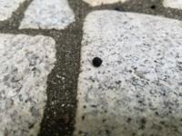 毎年この時期になると落ちているもの 毎年この時期に庭に黒い粒が沢山落ちます。 種なのか虫の糞なのか、どなたかわかる方いらっしゃいませんか? 近くを見ても、実が落ちたような草も毛虫のようなものも見当たり...