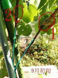 ブドウ幹にコブ→枯れ 何という病気なのでしょうか。  今年初めて買ったブドウの苗の主枝2本とも、コブができてしまいました。 場所は、枝分かれしているところのすぐ上で、隣り合うように同じ症状が起きています。  硬いコブで、八月末ごろから皮が裂けるほどになって心配していたのですが、 そのうち一本(写真の(1)の枝)はコブから上の葉が茶色くなって枯れてしまい、 やむなく今日その部分か...