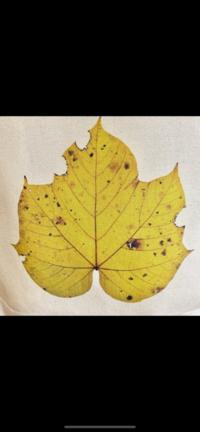 アオギリ?アカメガシワ?ウリハダカエデ?もしくはその他の葉っぱでしょうか?場所は高知県で採れた葉っぱです。