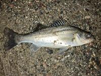 魚の種類について教えて下さい 湾内の堤防で写真の魚を釣りました。 魚の種類を教えていただけないでしょうか。 宜しくお願いします。