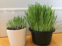 猫草を【ビッシリ】生やしたい 右が買ってきた猫草、左が自分で育てた猫草です。 いつもそうなんですが買ってきたものみたいにビッシリにならないんです。 どうしたらビッシリになるんでしょうか ちなみに栄養は...