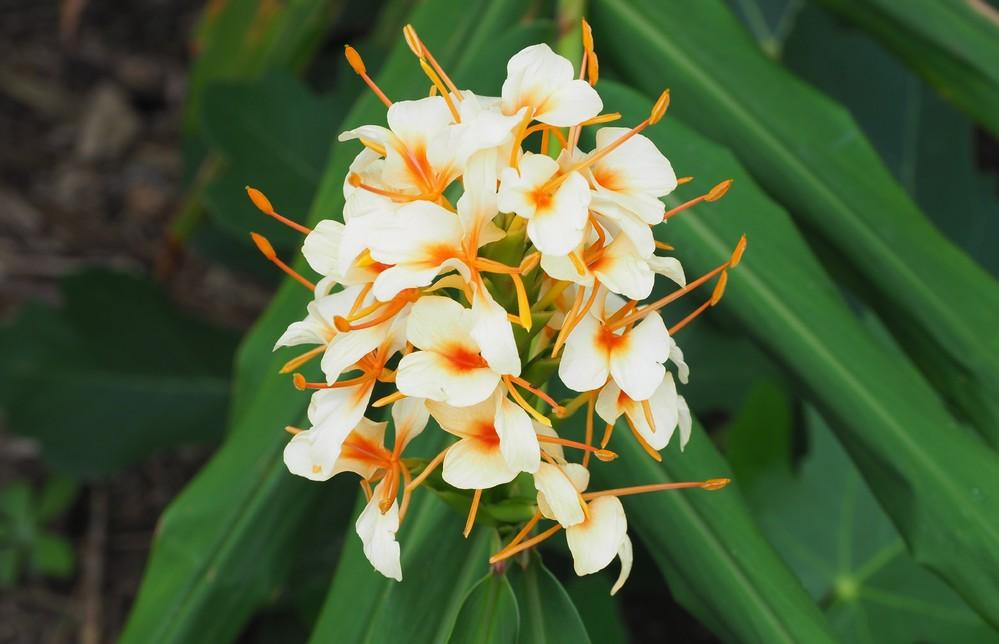 この花はジンジャーですか? 花の名前を教えてください