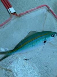 愛媛県愛南町で釣りしてます。、この魚ご存知の方教えて下さいませ