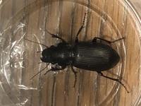 この虫が何か、ご存知の方いますか??  部屋に、入ってきてたのでびっくりしてます。