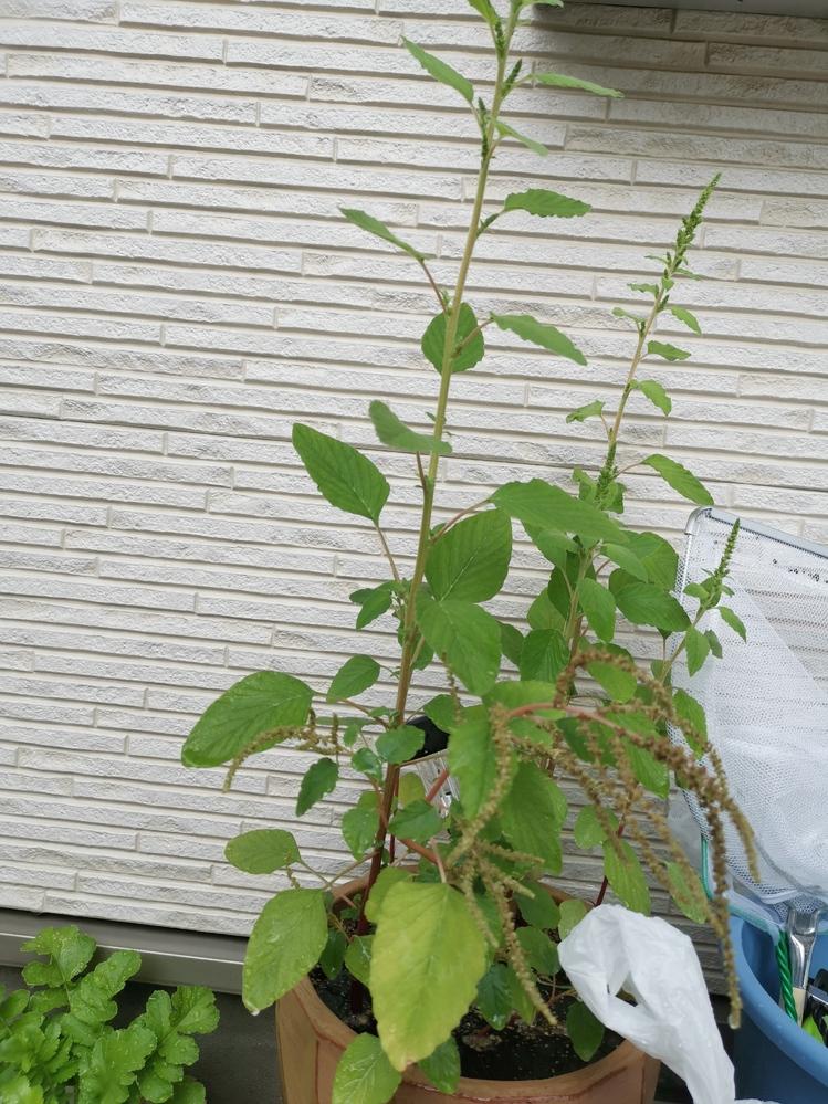 お花の名前を教えて下さい。 植えたのに種の袋がなくなってしまいお花の名前がわかりません。 植えた時期は7月〜8月頃で写真は9月18日昨日撮ったものです。