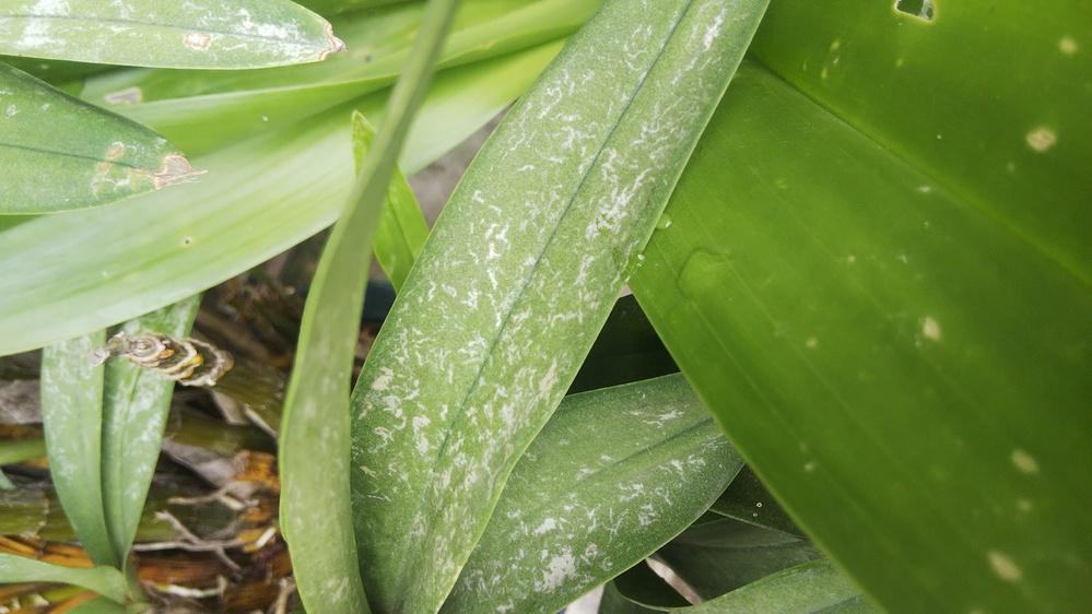 洋蘭の葉っぱの白い線、原因はなんでしょうか?