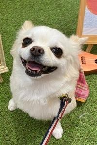 この犬の種類を教えて下さい。 ポメラニアンじゃないし、なんだろう?