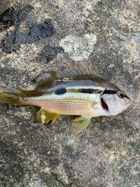 防波堤から、サビキ釣りをしてたら こんな魚が釣れました。 何という魚ですか?  食べられます?