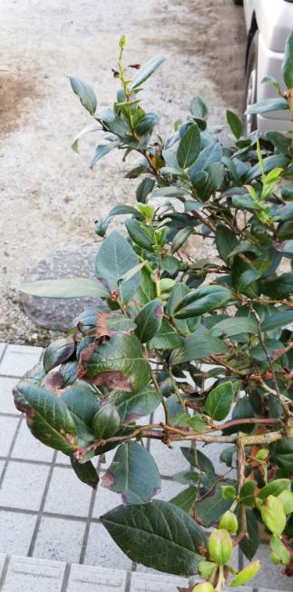 ブルーベリーの木の新芽が次々枯れます。 原因がわかりません。 たまにクモがいないのにクモの巣のような糸がはってたり、ありが登っているので、ハダニかかいがらむし?かと思うのですが合ってますか? ど...