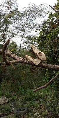 何の動物の頭蓋骨か教えてください。 登山途中に見つけました。草食動物だとは思うのですが、鹿にしては角がないですし。 お分かりになる方、教えてください!
