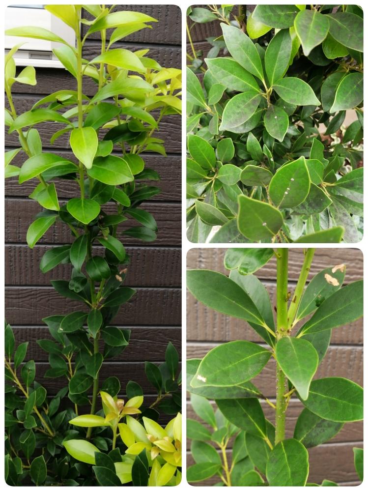 庭に生えているこの植物の名前わかりますでしょうか? 最近1番上から少し下あたりの葉が抜けボリュームが減ったように思います。歯も少し黒ずみ茎にはポツポツした物が付着し常にクロアリが這っています。 ...