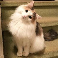 見た目がこんな感じの猫に、「ラテ」と名付けたら変でしょうか? カフェラテから取りました
