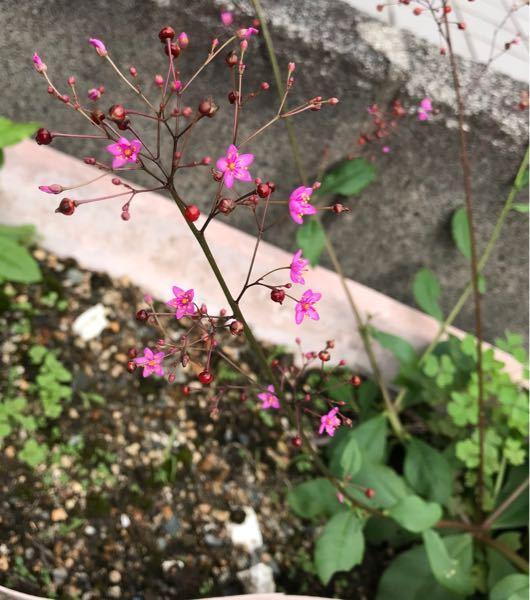いつのまにか植木鉢に可愛い花が咲いているのですが、なんという植物でしょうか?