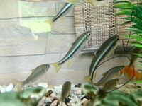 黒丸に囲まれた魚の名前を教えて下さい。 カワムツに似ていますが、頭の形や尻尾の色が違います。